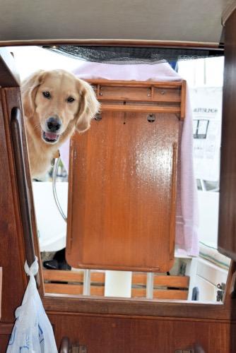 Honey the golden retriever looks down the companionway ladder.