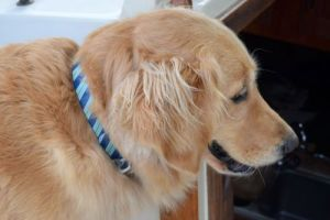 Honey the golden retriever in her Kurgo Muck Collar.