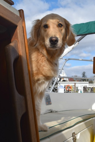 Honey the golden retriever wants to come down from the cockpit.