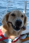 Honey the golden retriever chews on a bully stick on the sailboat.