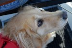 Honey the golden retriever doesn't want to meet your dog.