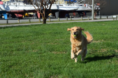 Honey the golden retriever running with her ball.