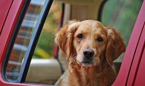 Dog in a pick up truck.