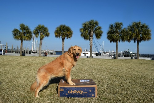 Honey the golden retriever got food from Chewy.com.