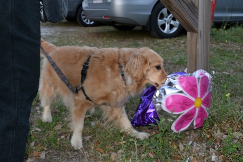 Honey the golden retriever touches a balloon.