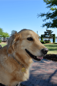 Honey the golden retriever is a good dog who doesn't like having her picture taken.