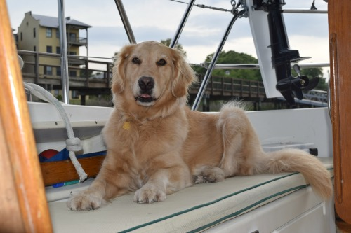 Honey the golden retriever is alert while relaxing in the cockpit.