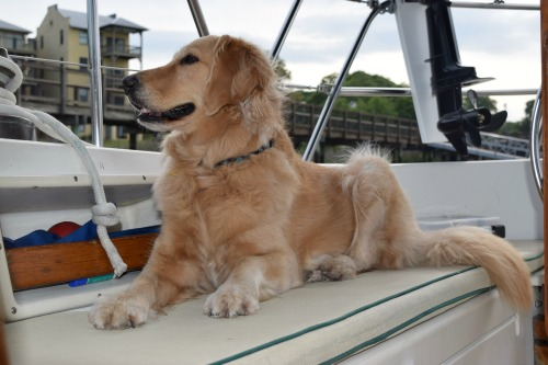 Honey the golden retriever spots something off the boat.