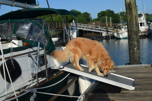 Honey the golden retriever takes the ramp to the dock.