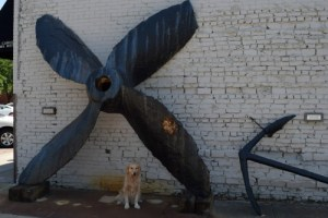 Honey the golden retriever with a giant propeller.