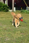 Honey the boat dog loves to play with her Kong Tails toy.