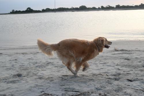 Honey the golden retriever running on the beach.
