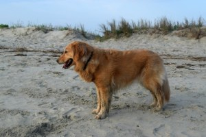 Honey the golden retriever is afraid of getting her picture taken.