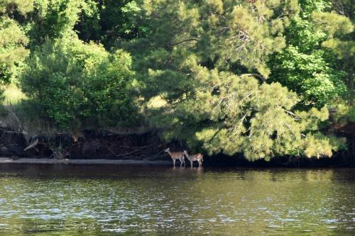 Deer in the Alligator-Pungo canal in North Carolina.
