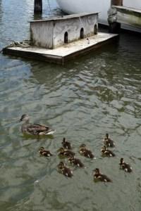 Mama and ducklings at Cambridge Municipal Marina.
