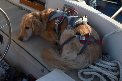 Honey the golden retriever waits in the cockpit wearing her harness.