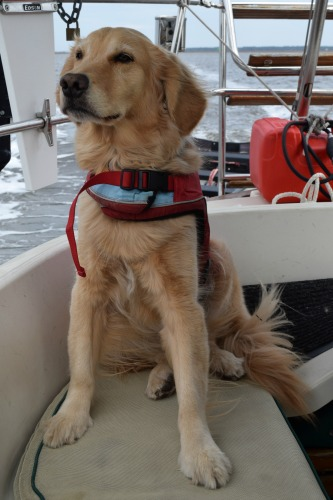 Build your dog's confidence (Golden retriever in life jacket in cockpit)