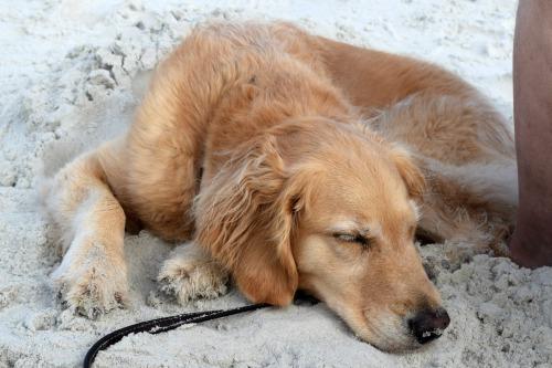 Honey the golden retriever dug herself a sand dog bed on the beach.