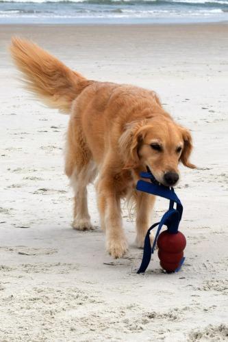 Honey the golden retriever plays on Marineland Beach.