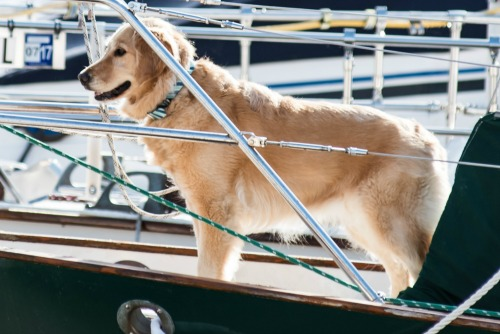 Honey the golden retriever on the bow of Meander in a professional photograph.