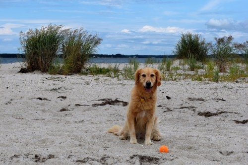 Honey the golden retriever alone on the beach at Little Bay in Virginia.