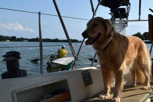 Honey the golden retriever waits for Mike to row back in the dinghy.