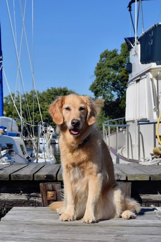 Honey the golden retriever on the dock.