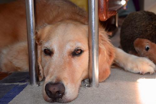 Honey the golden retriever lies under the table.
