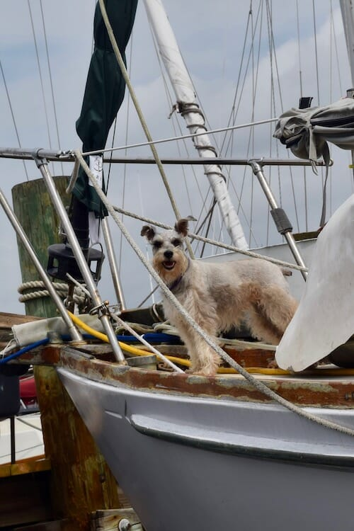 Build your dog's confidence (Miniature Schnauzer on bow of sailboat)