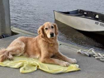 Training the place cue helps keep dog from jumping off the boat. (Golden retriever lying on towel on dock.)