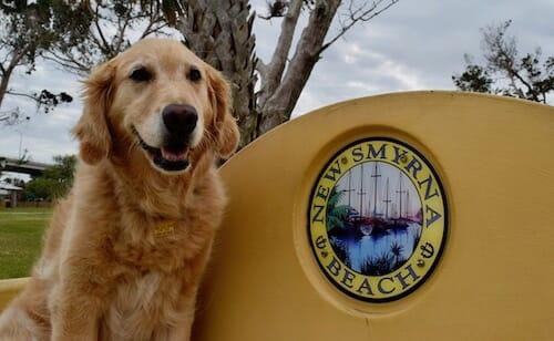 Honey the golden retriever on bench in New Smyrna Beach, Florida.