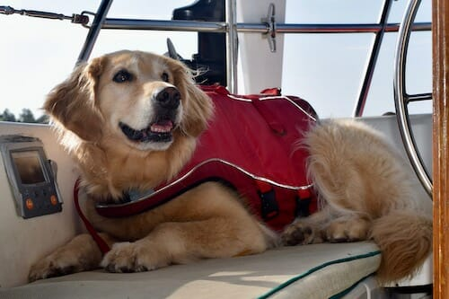 Honey the boat dog wears her life jacket in the cockpit.