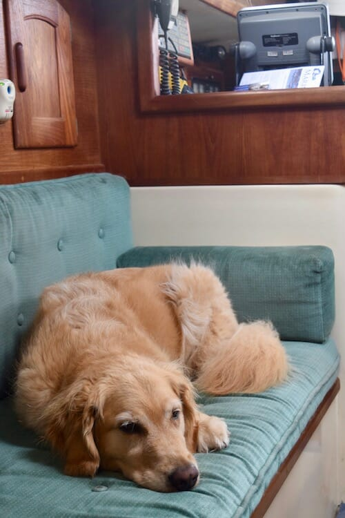 Honey the golden retriever naps without stress.