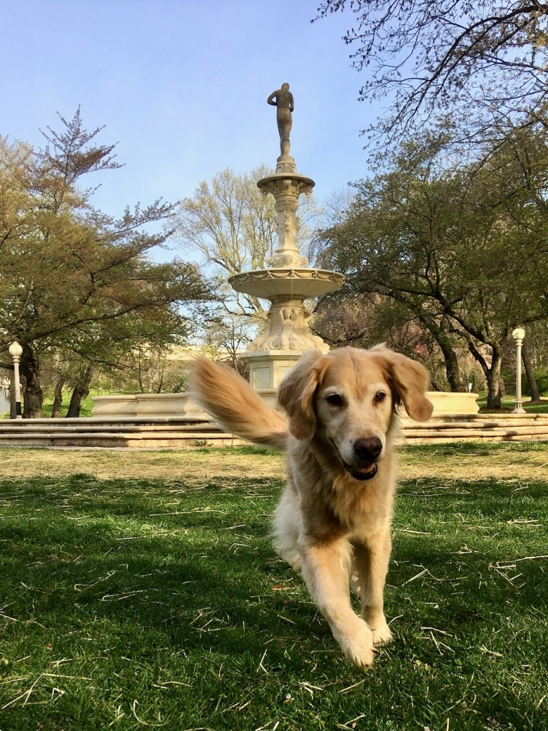 Honey goes from a boat dog to a land dog - golden retriever running in front of statue.