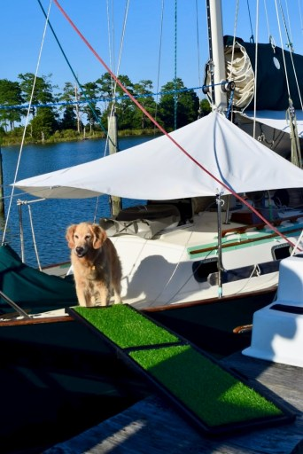 Golden retriever on bow of sailboat waiting to walk on her ramp.
