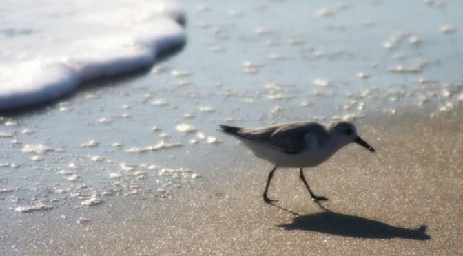 To a sanderling