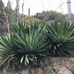 Yucca gloriosa アツバキミガヨラン リュウゼツラン(キジカクシ)科