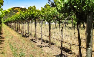 Winemaking 101 - Part I - Growing Vines in the Vineyard