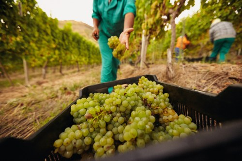 How to Get Into the Wine Making Business | Working in the Vineyard | SommelierQA.com