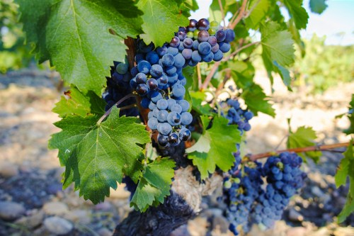 Chateauneuf du Pape Wine Grape Varieties in the Southern hone Valley