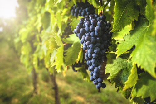 What is Sangiovese Wine? | Sangiovese Grapes on the Vine in Tuscany