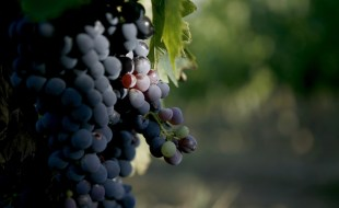 What is Montepulciano Wine? | Montepulciano Wine Taste Description | SommelierQA.com