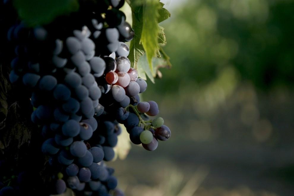 What is Montepulciano Wine? | Montepulciano Wine Taste Description | SommelierQA.com