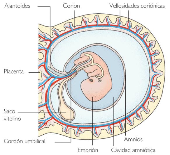 Resultado de imagen de corion placenta