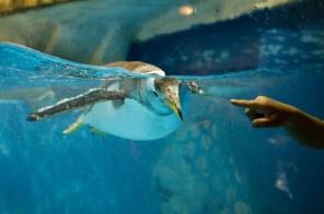penguin-shengya