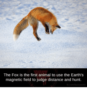 fox uses earth's magnetic field to hunt