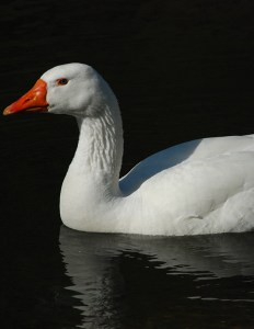 White_swan-goose