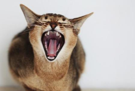 Gato gruñón