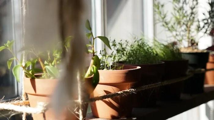 Herbs in a terracotta pot near a window