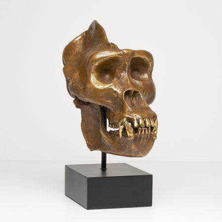 Western Lowland Gorilla with polished teeth
